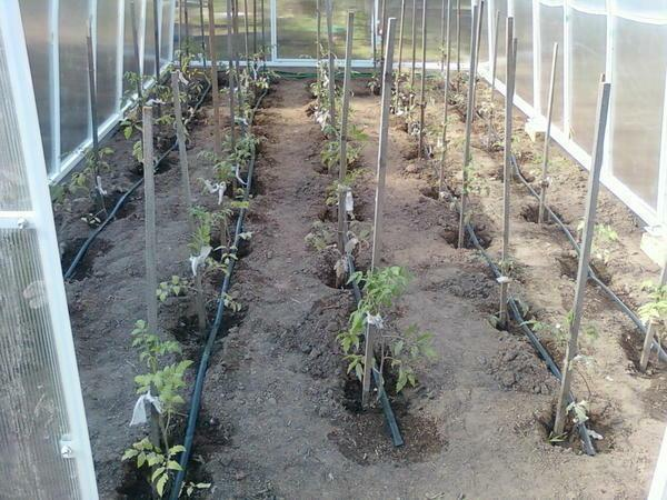 Watering in the greenhouse: with their own hands beds, how to feed the seedlings, water the plants better with water, how to make a greenhouse