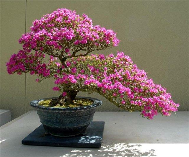 Japanese bonsai tree: sakura, cedar and pine seeds, photos of dwarf trees, growing white, sakura care