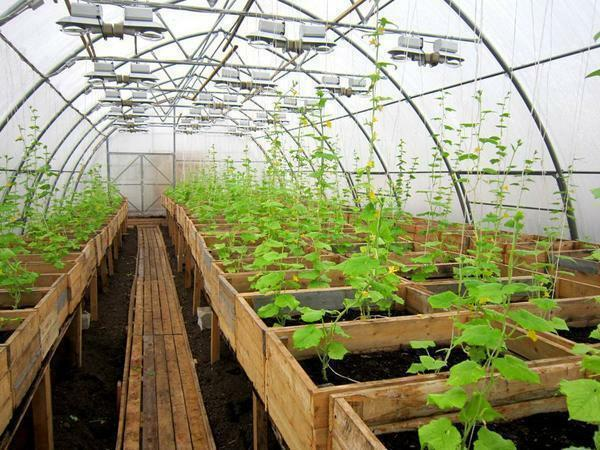 Growing cucumbers in a greenhouse as a business: for sale as a grow, profitability and plan, income all year round