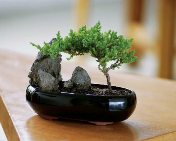 Beautiful bonsai organically fit into any interior, creating an atmosphere of coziness