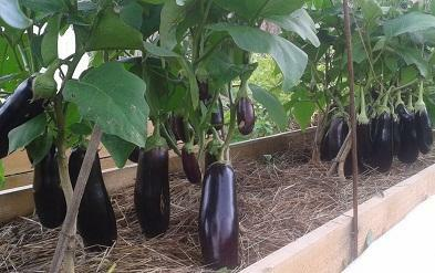 To grow peppers and aubergines in one greenhouse, you do not need to have any experience