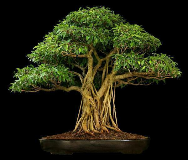 Bonsai Ficus: Benjamin with his own hands, caring for a micro car at home, photos and a master class, how to make