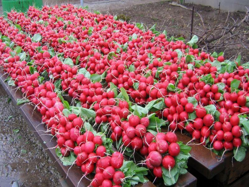 Grades of radishes for greenhouses: the best seeds, cultivation and testimonials, which should be planted in the spring