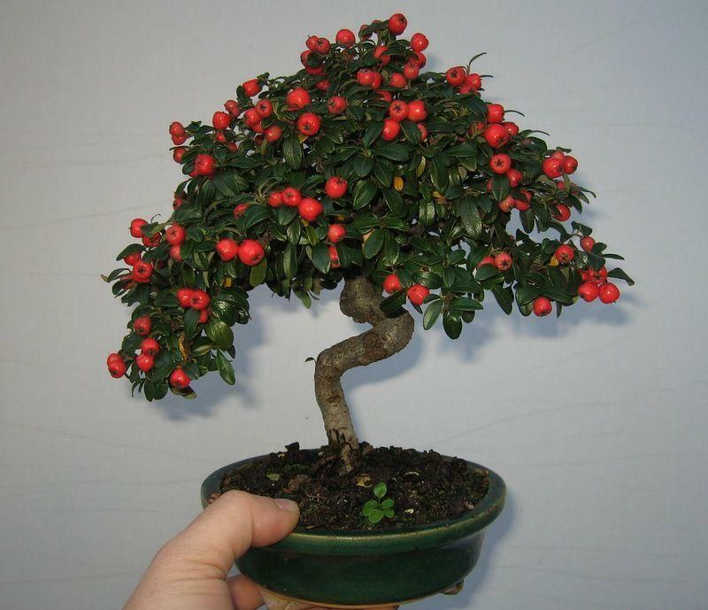 How to grow bonsai at home: from the seeds, care for the cherry room, how to plant and germinate the carmine
