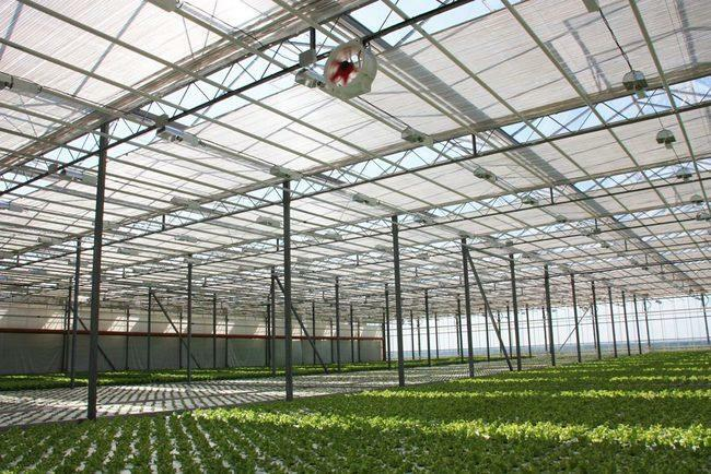 Greenhouses of Belogorie: OOO SHP Razumnoe, roses from Tarasov, official work at an agricultural enterprise
