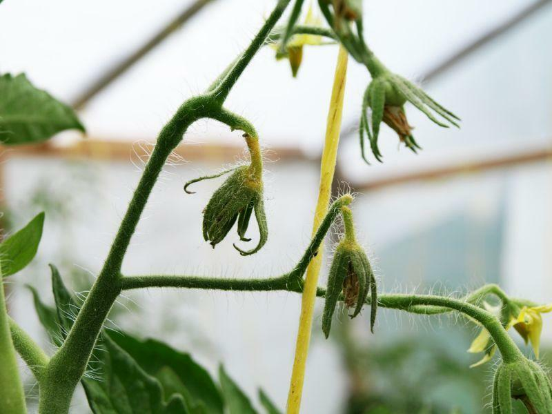 The tomato falls in the greenhouse with flowers: why do tomatoes fall off and fall off, crumble