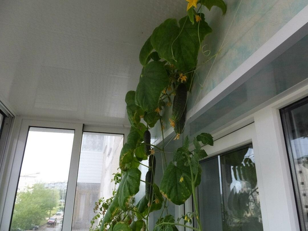 Cucumbers on the balcony: balcony cultivation, on the window step by step, how to grow in plastic bottles, reviews and grades