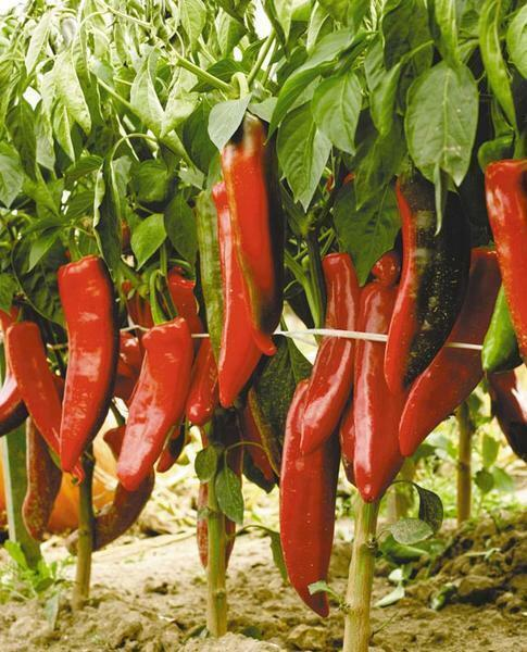 Hot peppers are popular in many national cuisines and gourmets