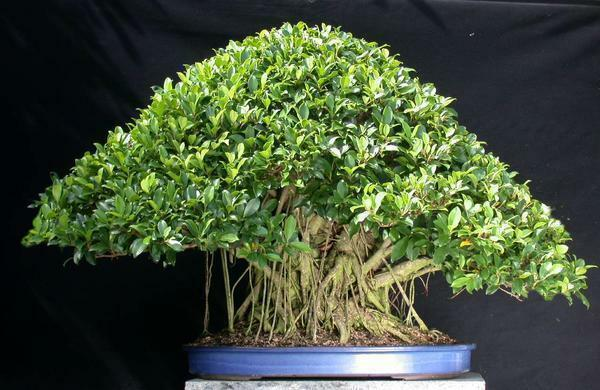 Bonsai from a mint tree can perfectly decorate a drawing room or office premise
