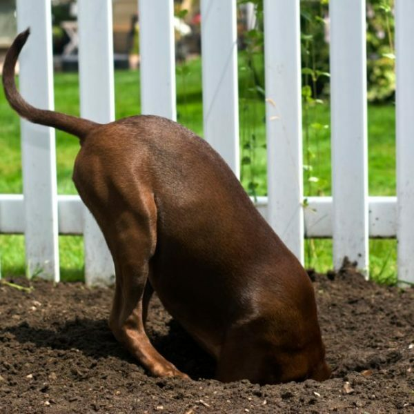 Tendency to dig holes can help to make the dog escaped from the enclosure