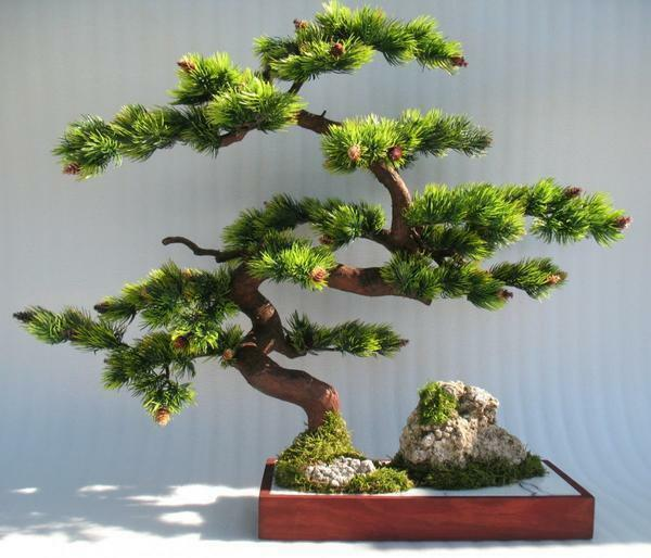 Bonsai with my own hands: how to do it in stages, from pine and money tree, master class, from ordinary step-by-step, making