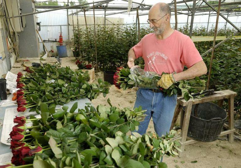 Growing roses in a greenhouse for sale: flowers and business, petunias and video, distillation of hyacinths by March 8, plan