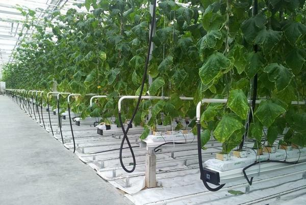 Auto-watering in the greenhouse: automatic watering Aquadouse, micro-drop irrigation system without your own participation