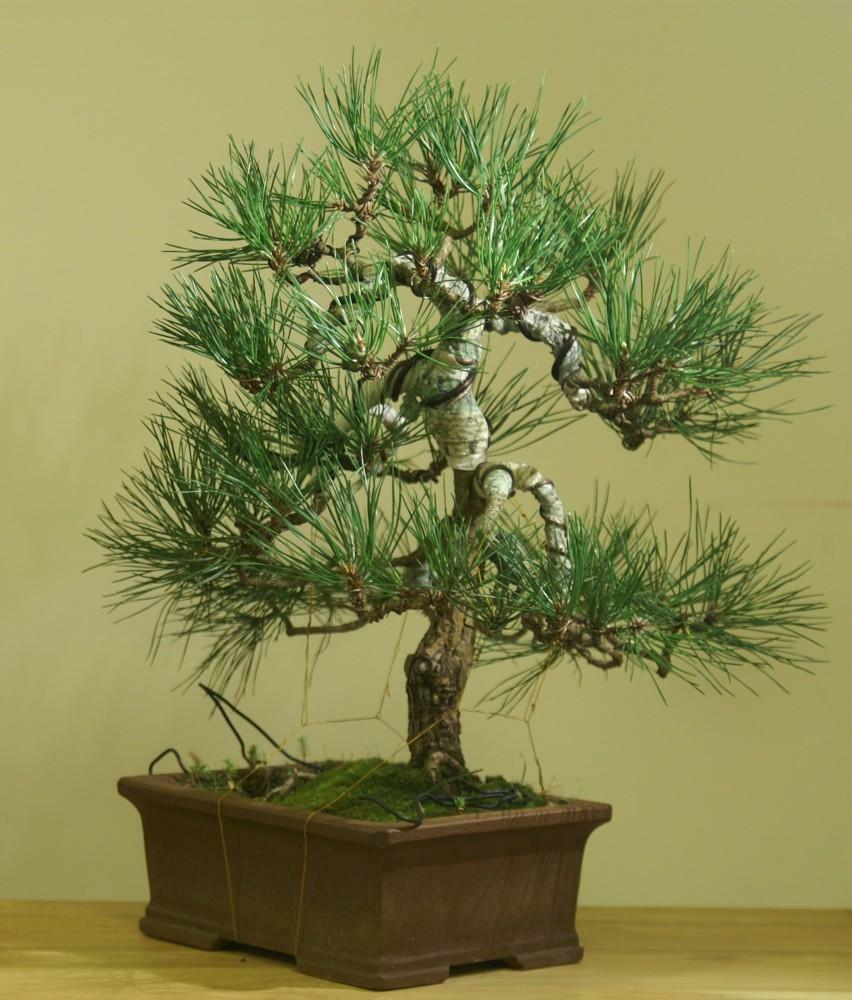 Bonsai pine: photo, from ordinary, garden from black, stratification of wintering on the site, how to do