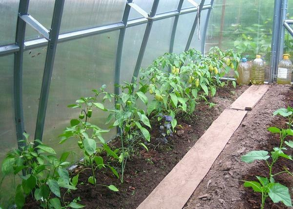 Plant peppers and eggplants in the greenhouse should be on separate beds