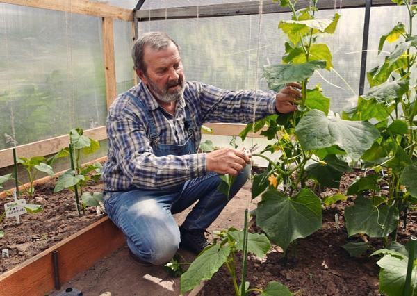 Cut cucumbers in the greenhouse can be both tied up, and those that lie on the ground