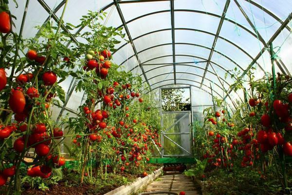 Formation of a tomato shrub in a greenhouse is a pledge of a high yield