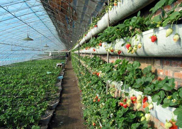 Chinese greenhouses have a lot of advantages, which consist in the special principle of keeping heat inside the greenhouse