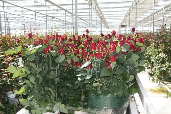 Growing roses in a greenhouse: flowers how to grow for sale, care and technology with their own hands, Ekibastuz and photos