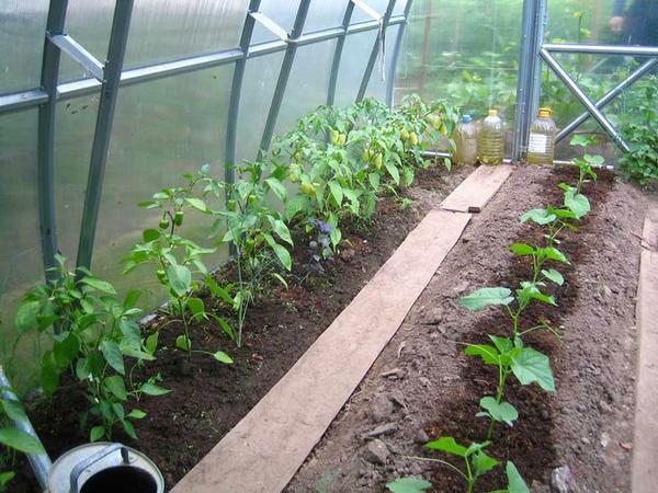What can be planted together in one greenhouse: mixed polycarbonate plantings, video and the neighborhood of vegetables