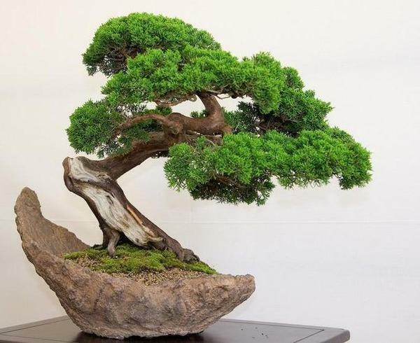 Bonsai tree: how to grow, species and care, how much grows, the Chinese set, how to plant, what symbolizes