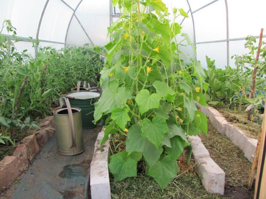 How to plant different crops in the greenhouse should every vegetable grower know