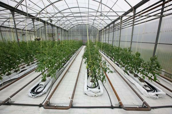 Greenhouse business plan: profitability of greenhouse farming, profitable cultivation, sale year-round and winter