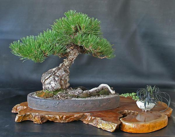 Bonsai pine can be decorated with snags and decorative green grass